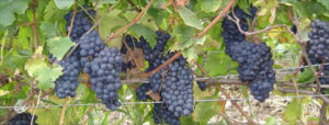 Prince Edward wine