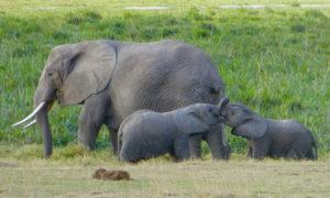 Amboseli National Reserve - elephants
