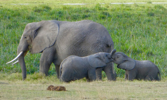 Amboseli National Reserve - elephants