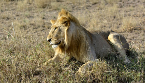 Amboseli National Reserve - lion