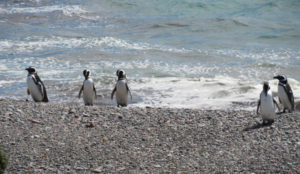 Otway Sound penguins